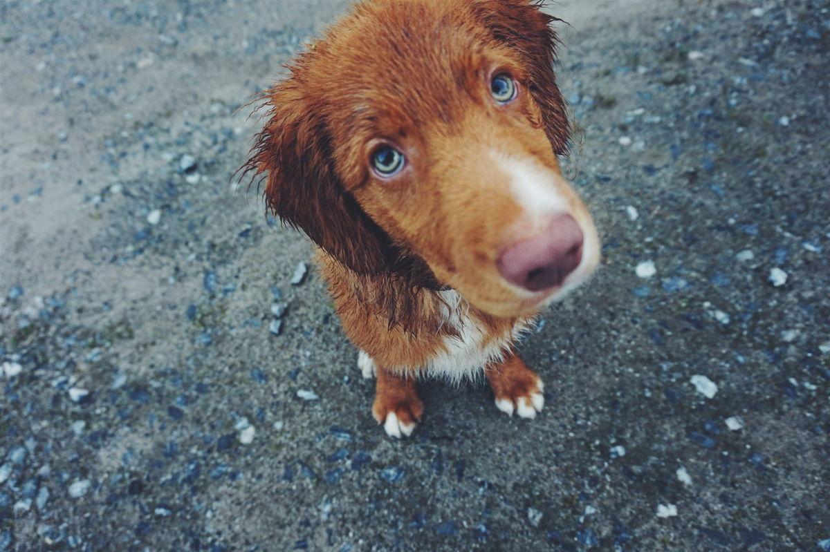 Nova Scotia Duck Tolling Retriever Pets Dogs Dog Pet Fur Furry Face Cute Cute Dog  Cute Pets