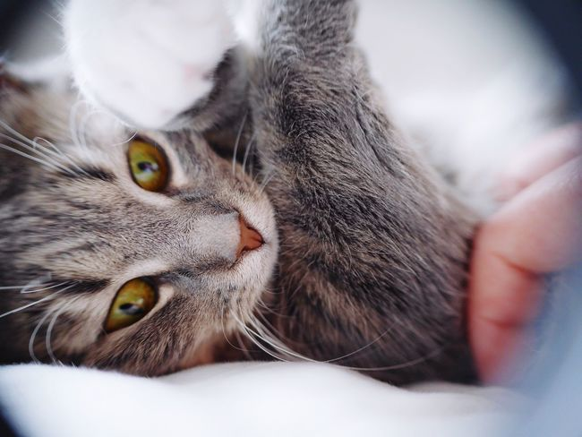 Kitten Cute Pets Cutest Kitty Cat Fresh on Market - May 2016 Kittens Kittycat Catoftheday Cat Pets Pet Animal Animal Photography Animal_collection Catch The Moment Animalportrait Grey Cat Feline Close-up Animal Themes Small Cat Cutteling Furry Whisker Whiskers
