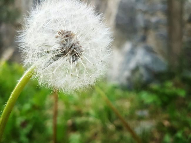 The Dandelion has bloomed. Dandelion Dandelion Seeds Flower Collection Bloom Nature_collection Nature Photography