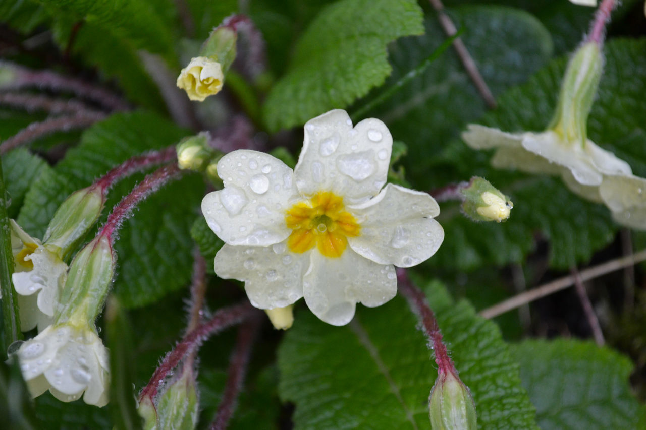 Beauty In Nature Blooming Close-up Day Drop Flower Flower Head Fragility Freshness Growth Leaf Nature No People Outdoors Petal Plant Primrose RainDrop Water Wet