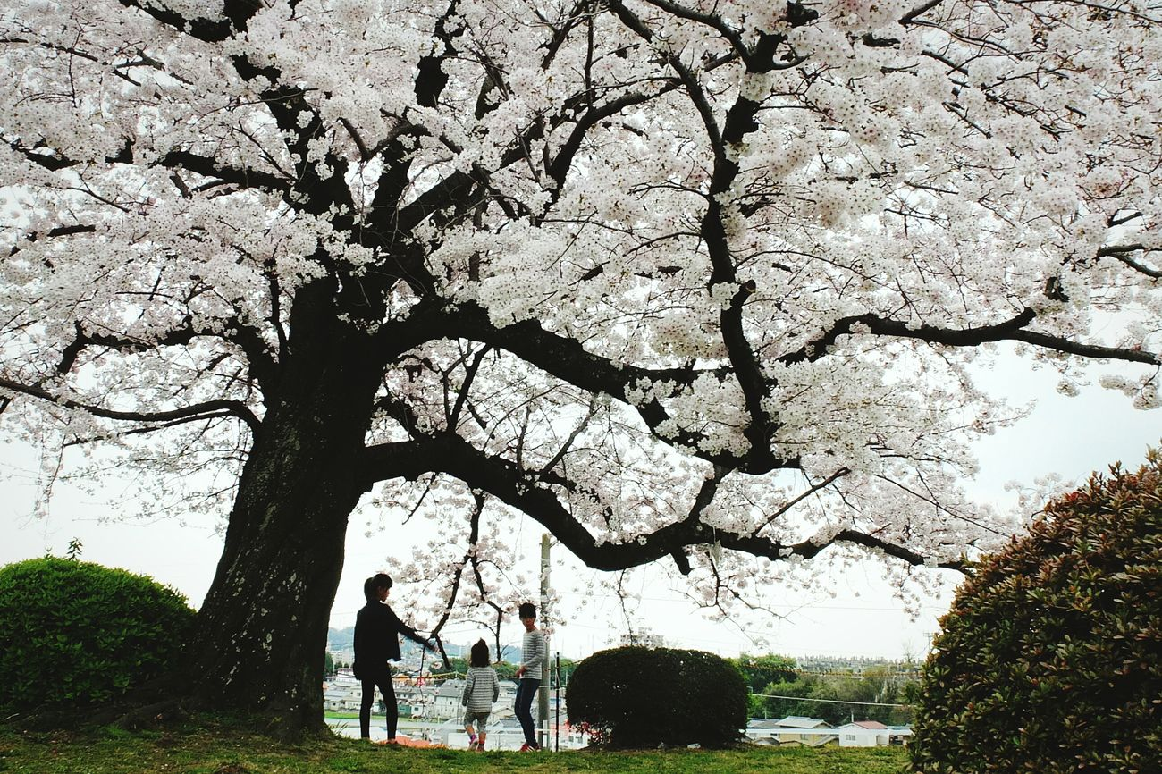 Miles Away Tree Leisure Activity Men People Outdoors Snapshot Japan Japan Photography Peopleandplaces EyeEmNewHere Spring Sakura Cherry Blossoms Fukuyama-city Hiroshima,japan Children Photography
