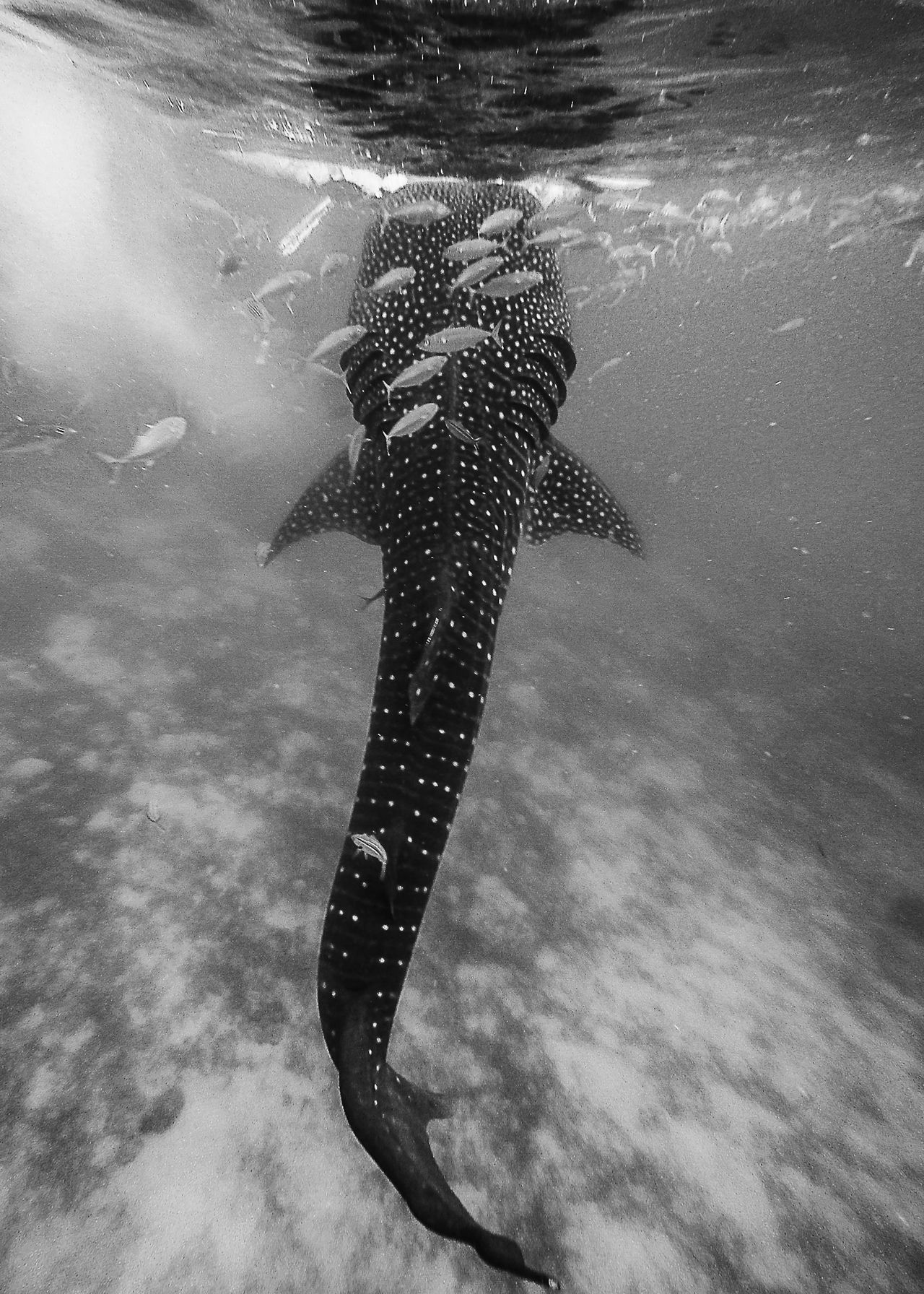 Day Fish Philippines Philippines Photos Swimming With The Fish UnderSea Underwater Water Whale Shark
