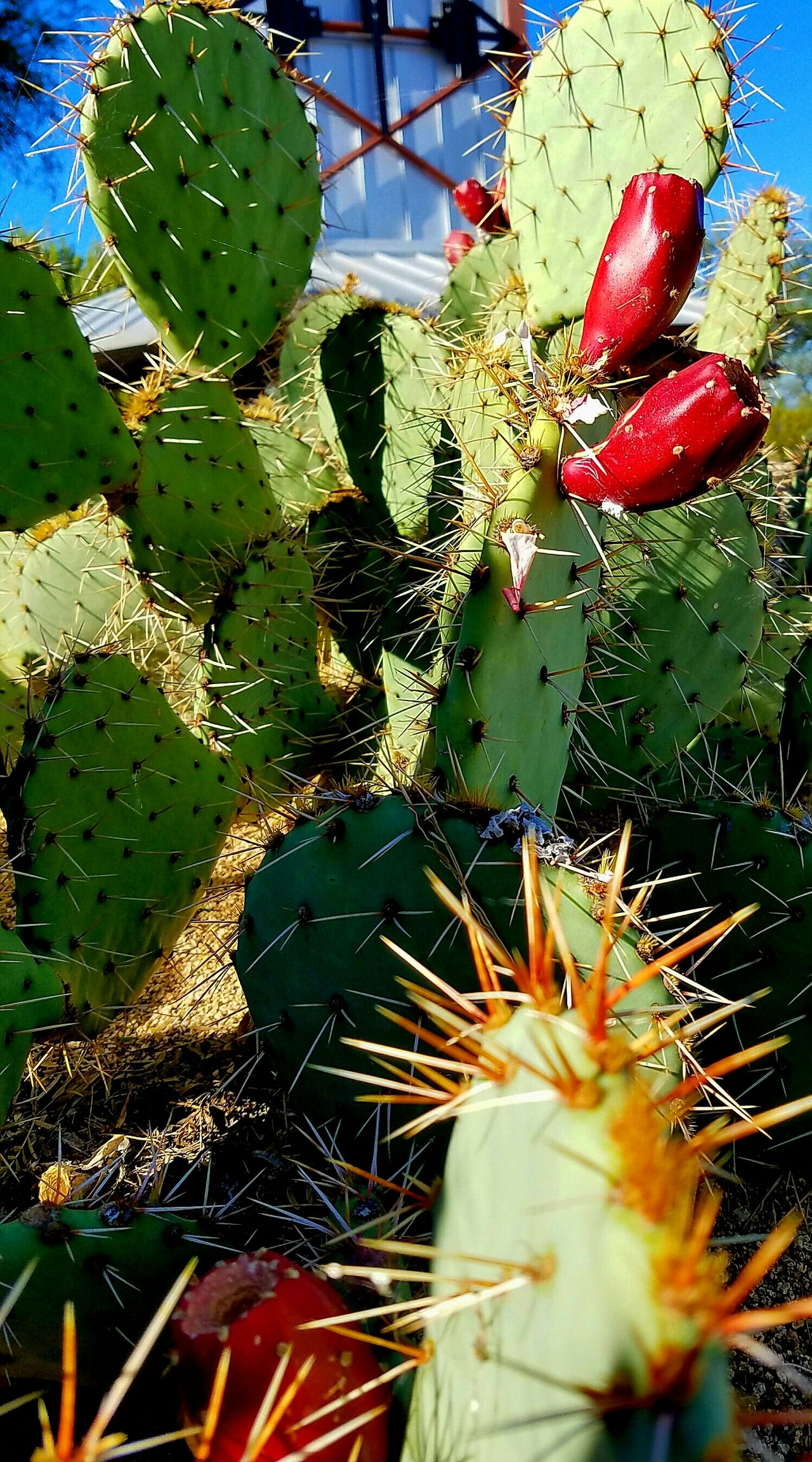 Ouch! Prickly Pear Cactus Prickly Pears Prickly Pear Jelly. Its not bad, just be very careful when you clean them 😉