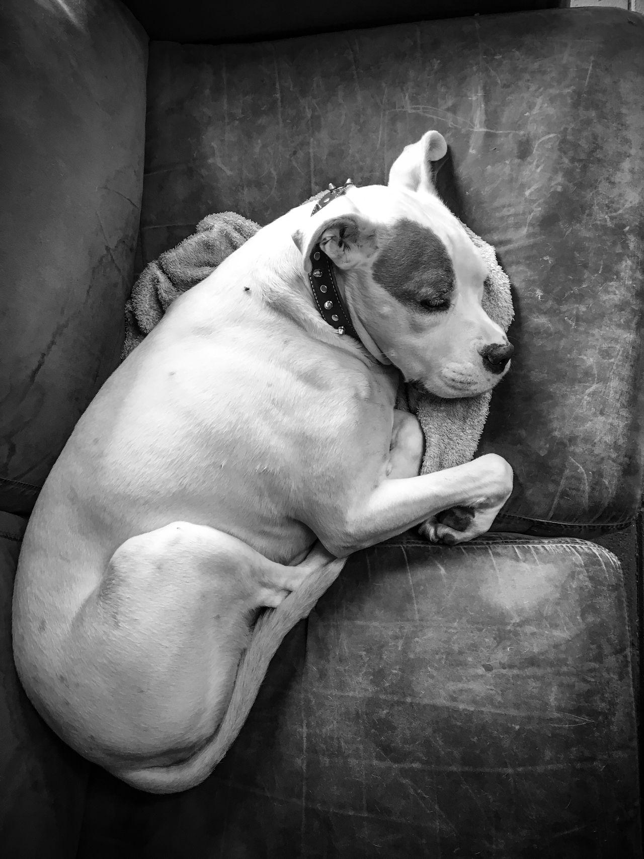 Beautiful stock photos of pitbull,  Animal Themes,  Close-Up,  Day,  Dog