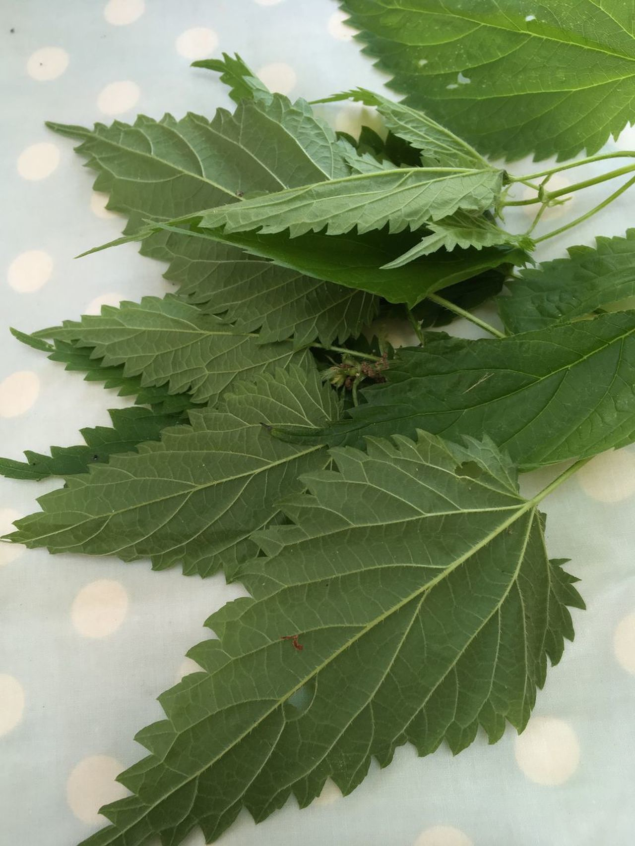 Leaf Green Color Plant Nettles Nature Freshness Beauty In Nature