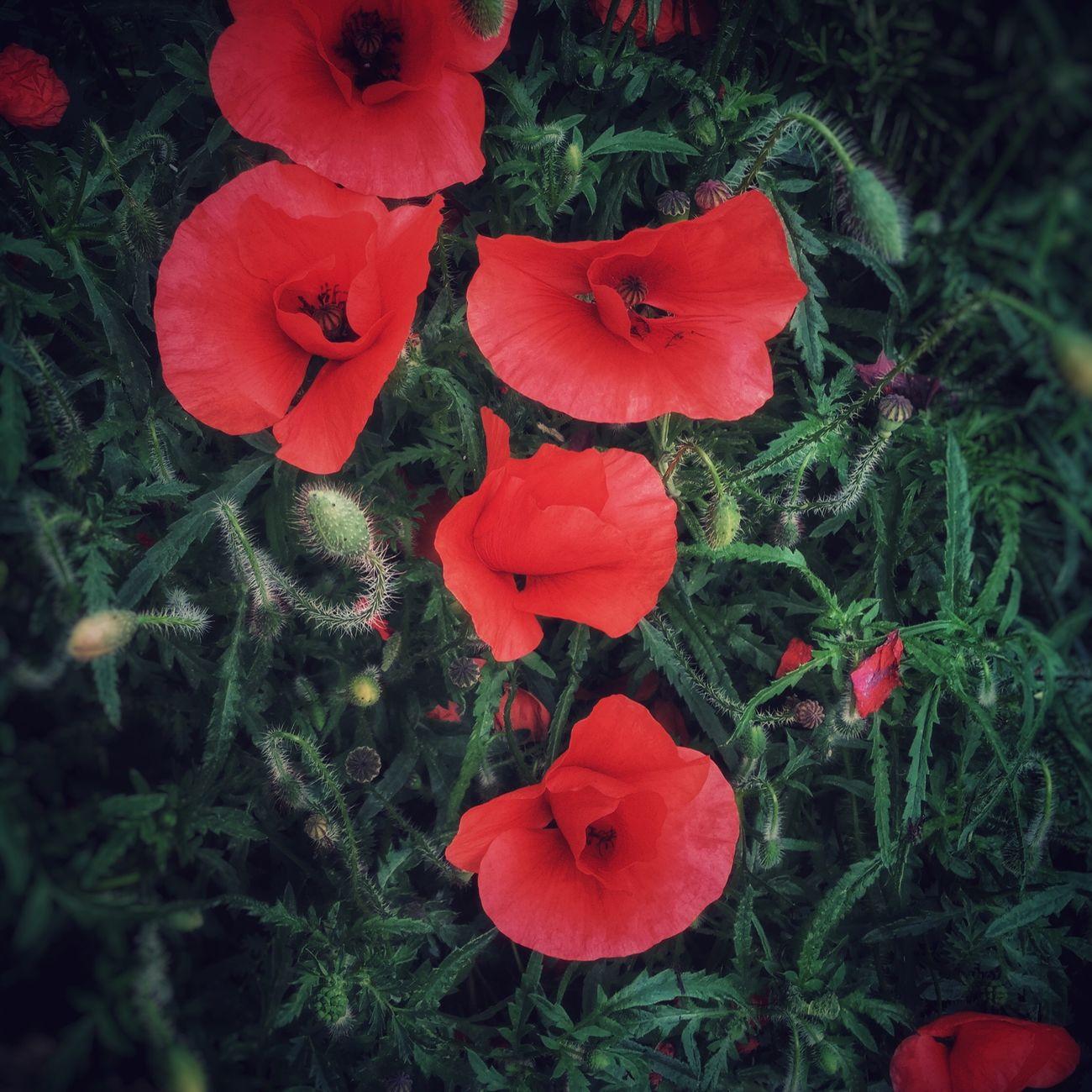 Poppy Poppy Flowers Poppy Poppies  Naturelovers Nature Flowers Summer Colors