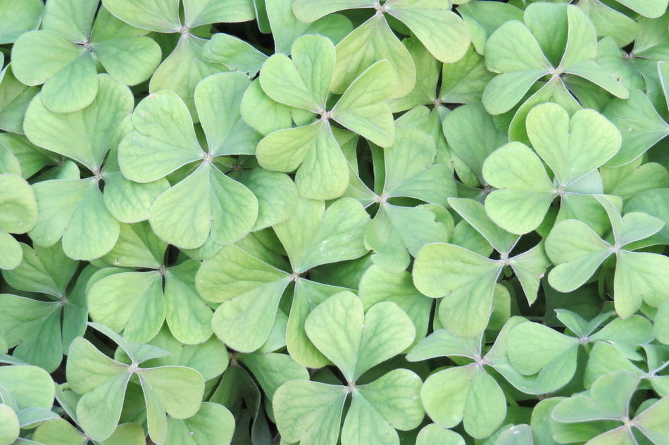 Beautiful stock photos of st patricks day, Backgrounds, Beauty In Nature, Day, Four Leafed Clover