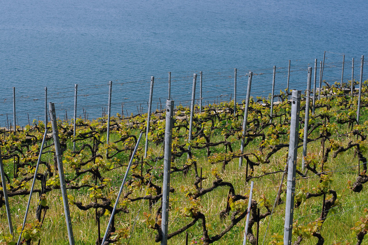Vines in front of at the Leman lake Agriculture Agronomy Bio Chasselas Countryside Epesses Grapes Growing Growth Heritage Lake Lake View Lavaux Leman Lake Oenology Region Rivaz Switzerland Vines Vineyard Vineyard Cultivation Vintage Walking Wine