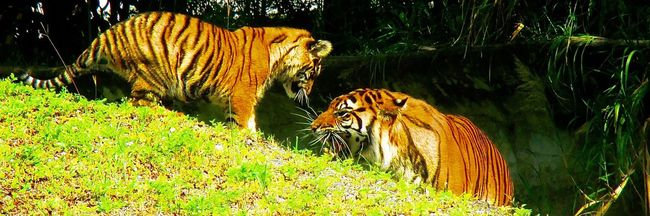 Animal Animal Markings Beauty In Nature Day Grass Grassy Green Color Growth Mammal Mother And Child Nature No People Non-urban Scene Outdoors Plant Tigers Tigers Interaction Tranquil Scene Tranquility Tree