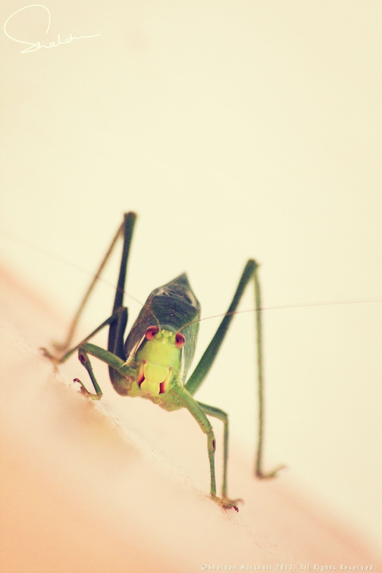 Giant grasshopper in Dominica Insects  Macro NEXTshotPhotos Eye4photography