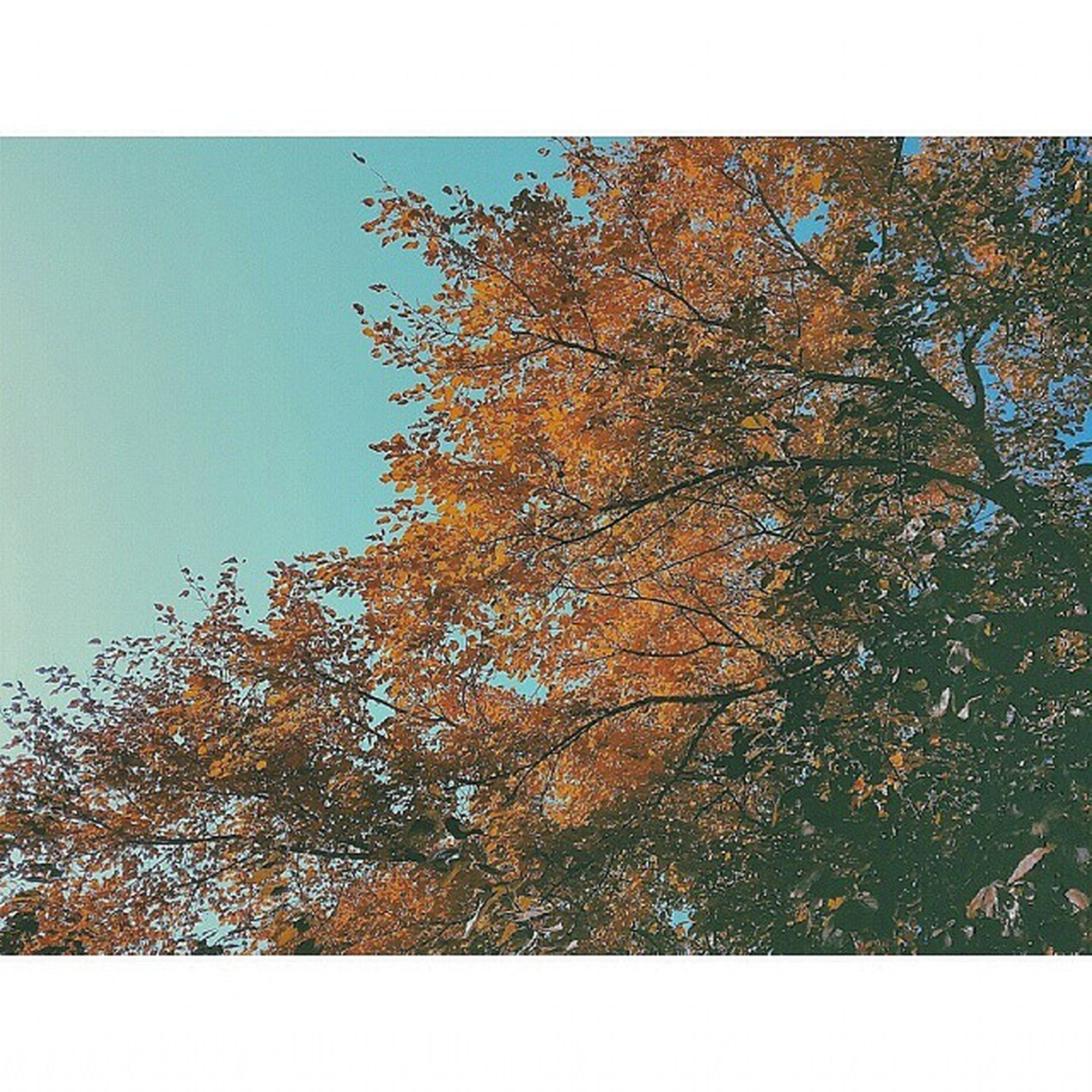 transfer print, auto post production filter, tree, low angle view, growth, nature, clear sky, branch, tranquility, beauty in nature, day, outdoors, no people, sky, sunlight, scenics, tranquil scene, frame, blue, leaf