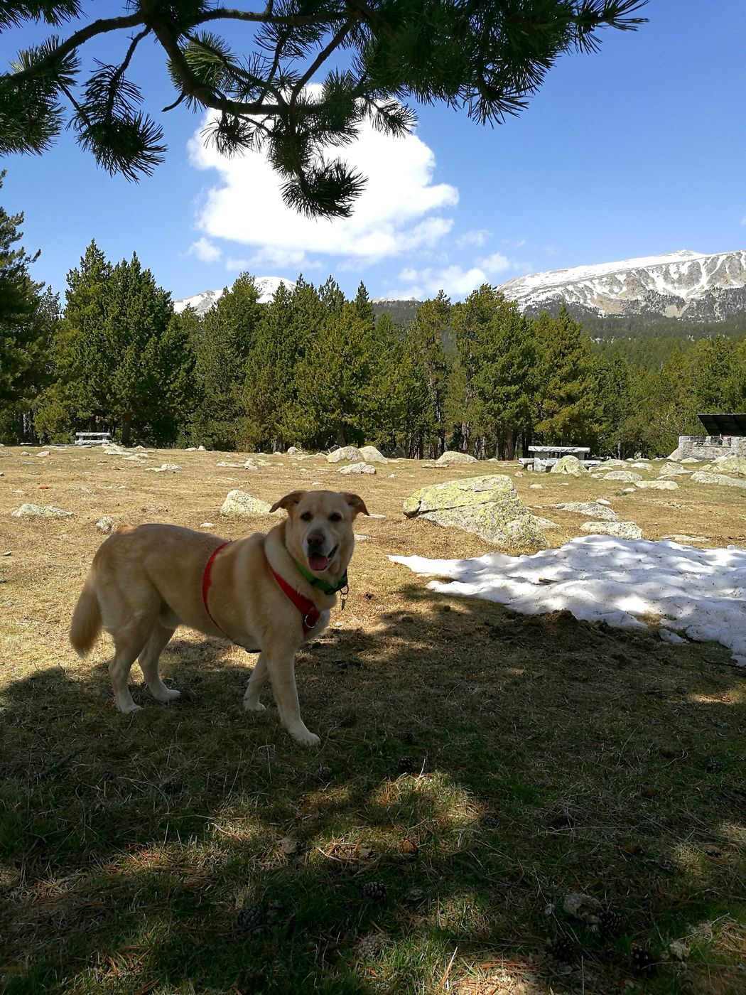 MY lovely dog in Lles, Cerdanya (the Catalan Pyrenees). His first time in snow. Dog Pets Domestic AnimalsOne Animal Animal Themes Outdoors Nature Day Lovely Happy Snow First Time Seeing Snow! No People Adorable Dog