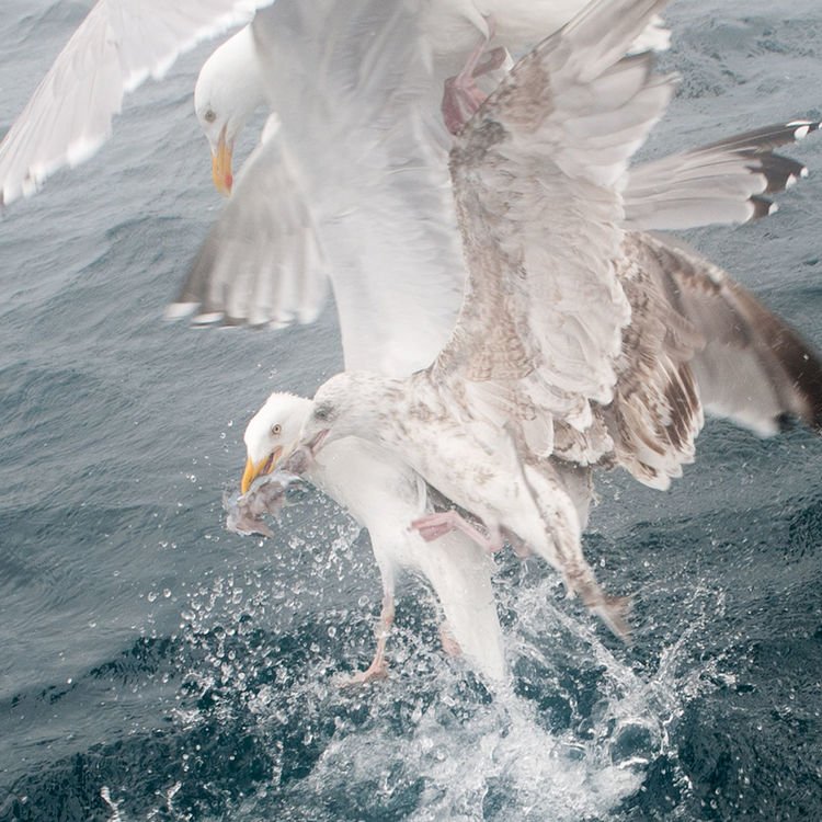 Seagulls and their crazy dance for food. Seagulls And Sea Seagull, Birds, Flight, Fly, Hover, Feathers, Wings, Beaks, Span, Myken Wildnature Norway Nordland