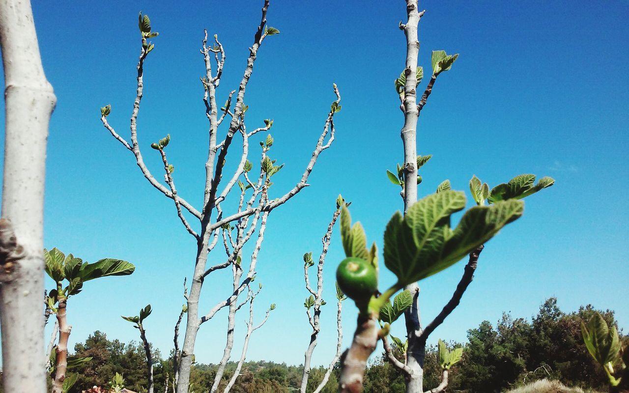 Blue Sky Tree Fruit Fig Tree Fig First Leaves Minimal