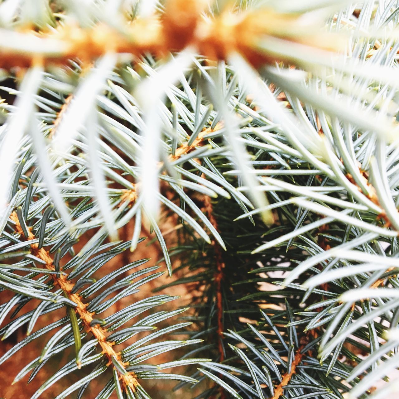 Pinetree Pineneedles Pine Evergreen Nature