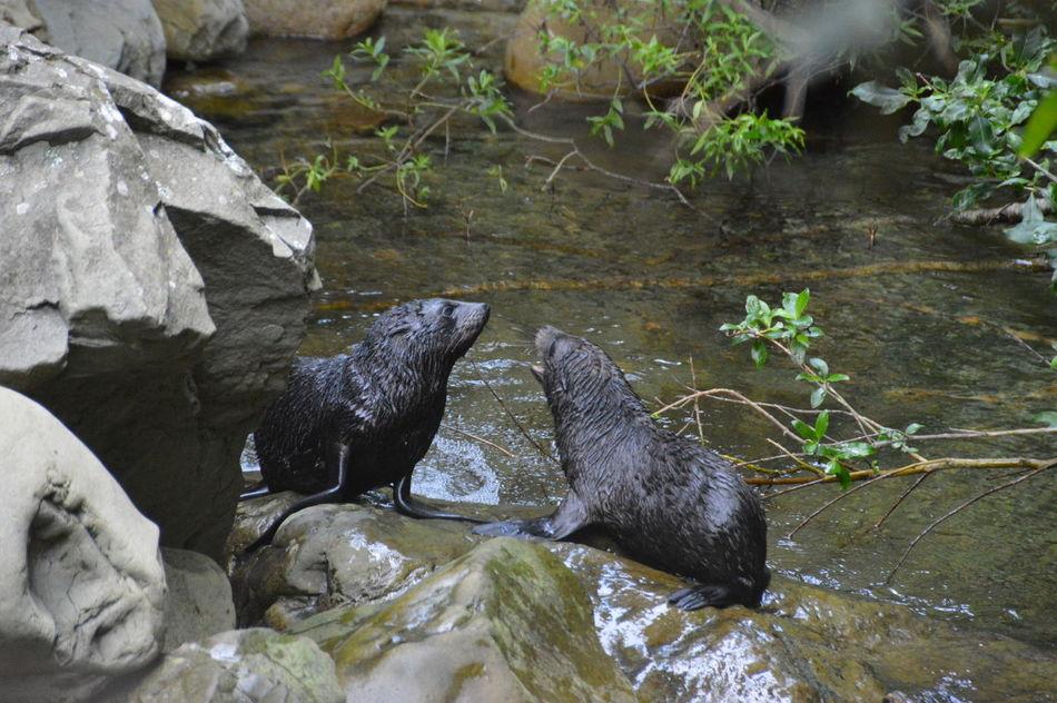 Travel New Zealand Traveling Kaikoura Baby Seal Seals Seal Colony Seals Playing Natural Nature Outdoors EyeEmNewHere