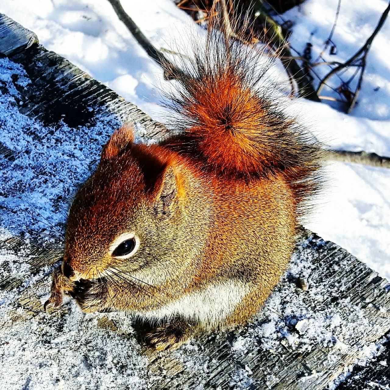 One Animal Animals In The Wild Nature Outdoors Close-up Wow Shot Winter Cinlb Beauty In Nature Nature Naturephotography Granby Squirrel Squirrel Closeup Squirrel Eating Squirrel Photography Squirrellife Squirrelporn  écureuil Ecureuil Roux Roux