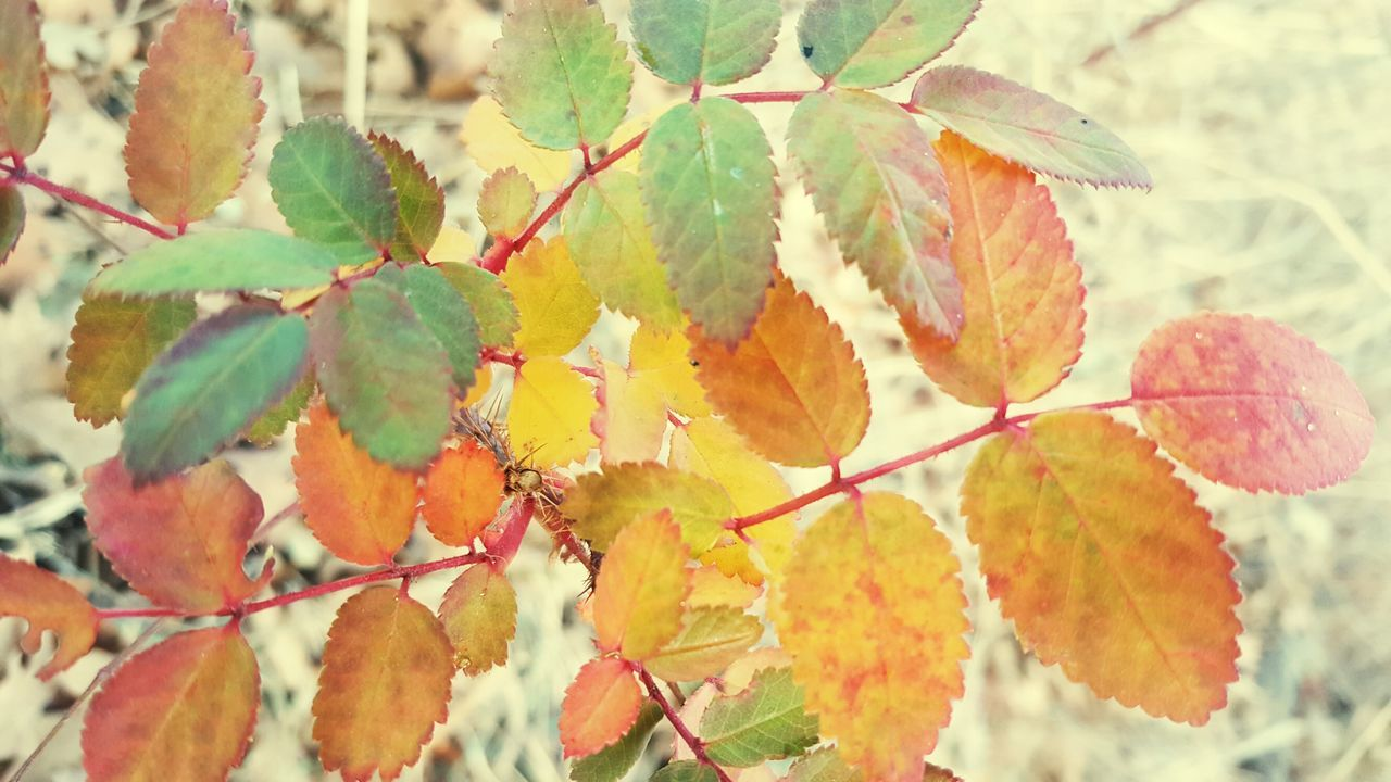 leaf, autumn, change, nature, growth, beauty in nature, day, outdoors, close-up, no people, branch, focus on foreground, maple leaf, plant, maple, tree, fragility, freshness