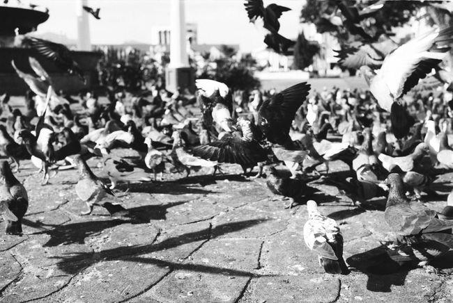 Pigeons fly 35mm Film Leicacamera Leica M6 Analog Film Filmisnotdead Film Photography Ishootfilm Believeinfilm Keepfilmalive Streetphotography Bnw Blackandwhite