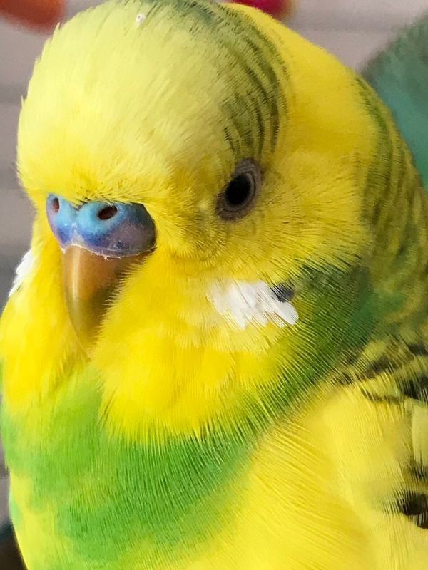Yellow Green Bird Parrot Close-up Junior  One Animal No People Animal Themes Indoors  Nature Budgie Model Birds Sweetface Budgies Tranquility Beak Sweeteyes Looking At Camera Budgerigar Pet Animals Parakeets Pets