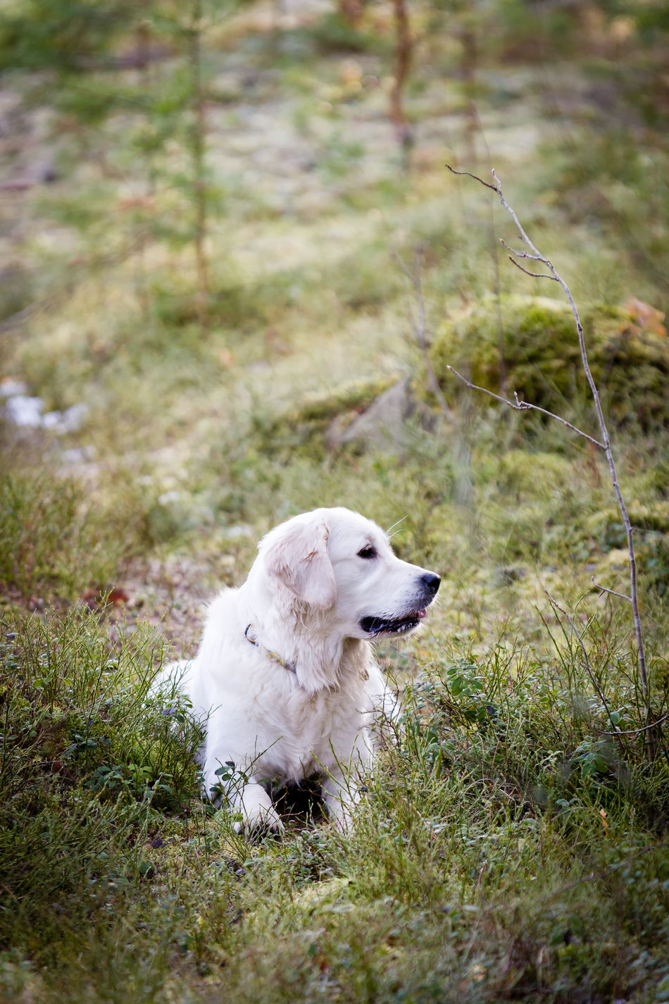 Beautiful Cheerful Cute Cute Pets Dog Fluffy Forest Friend Friendly Fur Golden Retriever Happy Lovely Outdoor Life Outdoors Pedigree Pet Pets Spring White Young