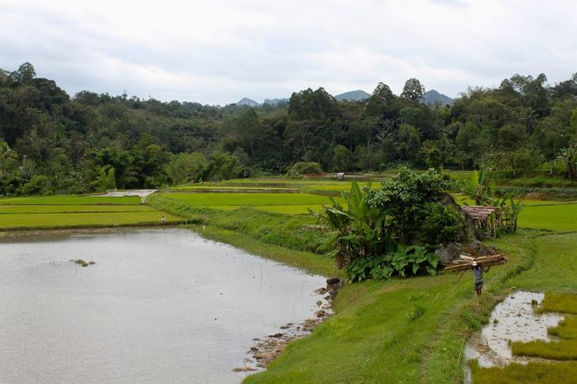 Rice Paddy Sulawesi Beauty In Nature Day Grass Green Color Growth Landscape Nature Outdoors Rice Field Scenics Sky Tana Toraja, Sulawesi Tranquil Scene Tranquility Tree Water
