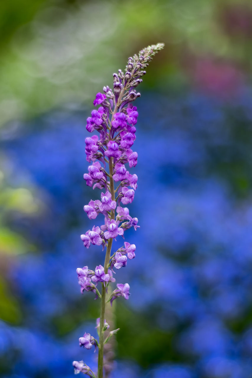 flower, purple, nature, growth, fragility, beauty in nature, freshness, plant, no people, outdoors, day, petal, focus on foreground, blooming, close-up, flower head