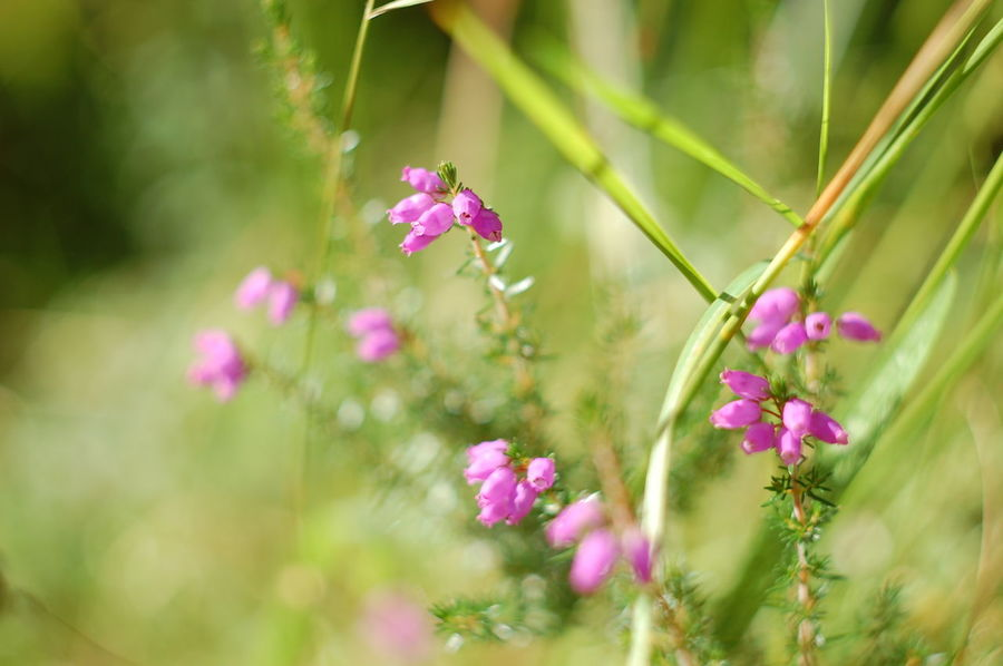 Beauty In Nature Blooming Blossom Botany Close-up Day Flower Flower Head Flowering Plant Focus On Foreground Fragility Freshness Growing Growth In Bloom Nature No People Outdoors Petal Pink Color Plant Selective Focus Springtime Stem Wildflower