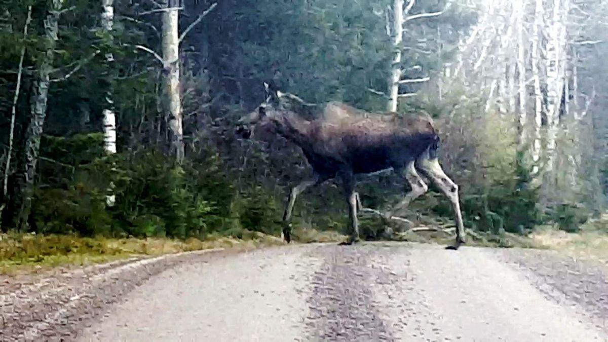 Moose Moose Is Loose Moose! Sweden Västra Götaland Karlsborg Animals In The Wild Animal Wildlife Sweden-landscape Animal Themes Outdoors Mammal Trafic Safety Traffic Hazard