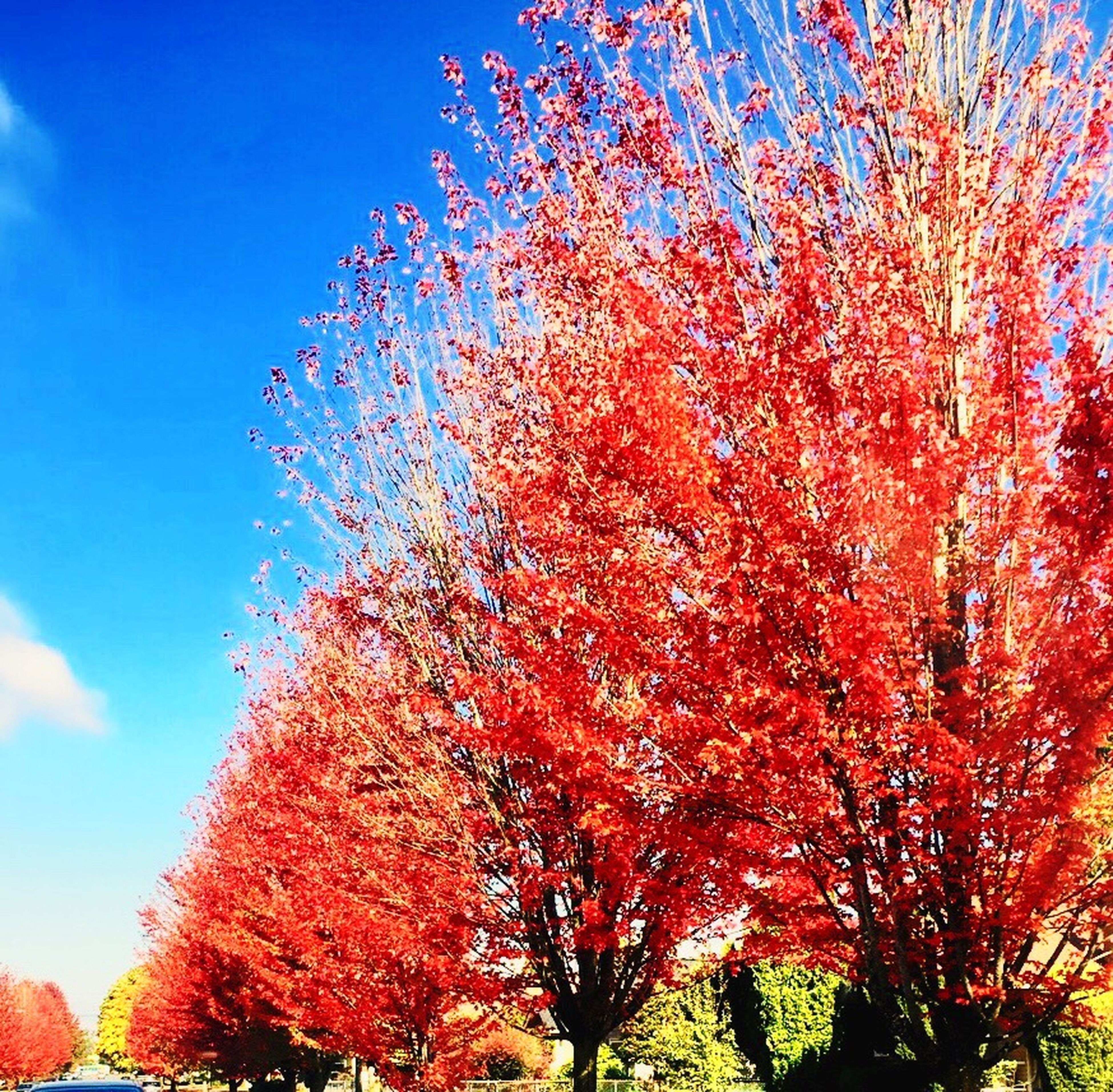 tree, low angle view, growth, beauty in nature, season, nature, pink color, scenics, change, sky, flower, branch, tranquility, tranquil scene, blue, day, cloud - sky, springtime, outdoors, cherry blossom, cherry tree, freshness, in bloom, blossom, fragility, majestic, non-urban scene, red, botany, no people