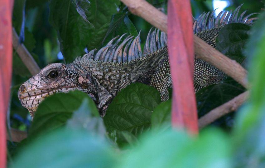 Un Visitante de Año Nuevo! Friends Reptiles Iguanas Naturaleza