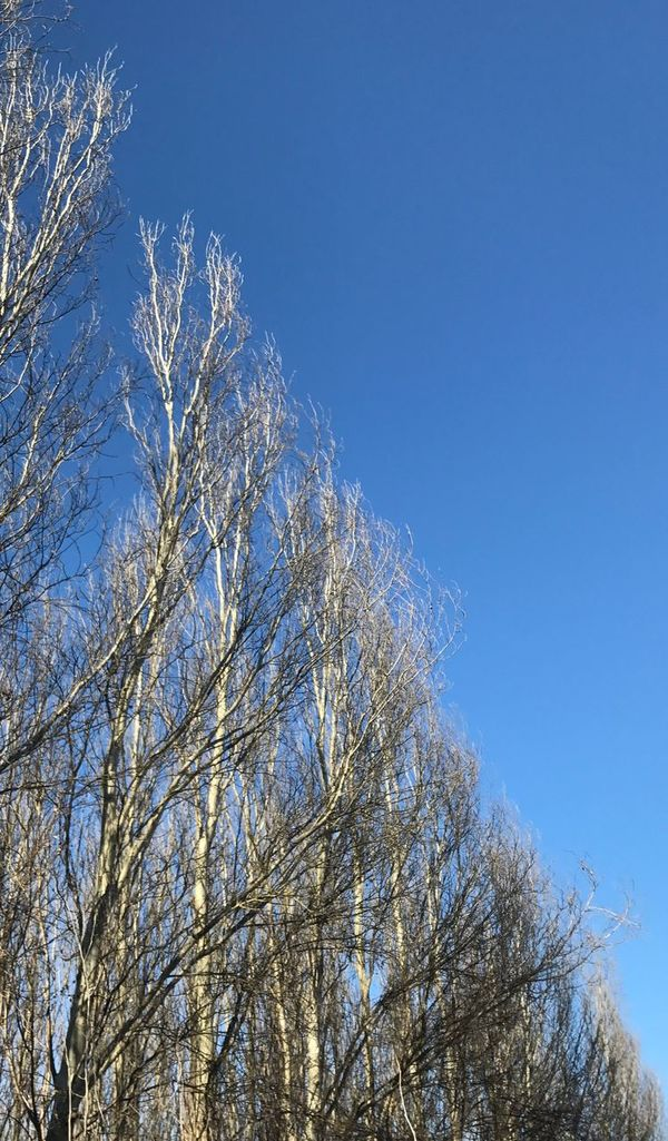 Trees And Sky Poplars Poplargrove Pioppeto No People Nature Blue Sky Tree Trunk Low Angle View