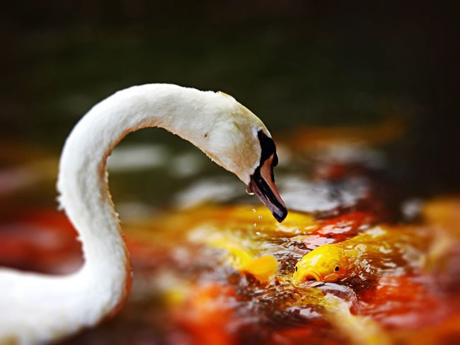 Fancy Carp quarrel with White Swan Fish Birds Tadda Community EyeEm Nature Lover Funny