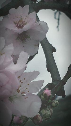 Showcase: February Flower Photography Vintage Flowers Flowers Cherry Blossom Vintage Flowerlovers Soft Colors  Mobile Photography Mobilephotography Kirschblüte Flower Collection Flowerpower Cherry Blossoms Kirschblüten  Cherryblossom Vintagestyle Flowerporn Pastel Power Urban Spring Fever