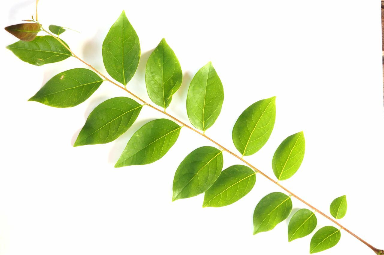 leaf, white background, food and drink, green color, studio shot, close-up, freshness, no people, herb, plant, indoors, tea crop, mint leaf - culinary, day