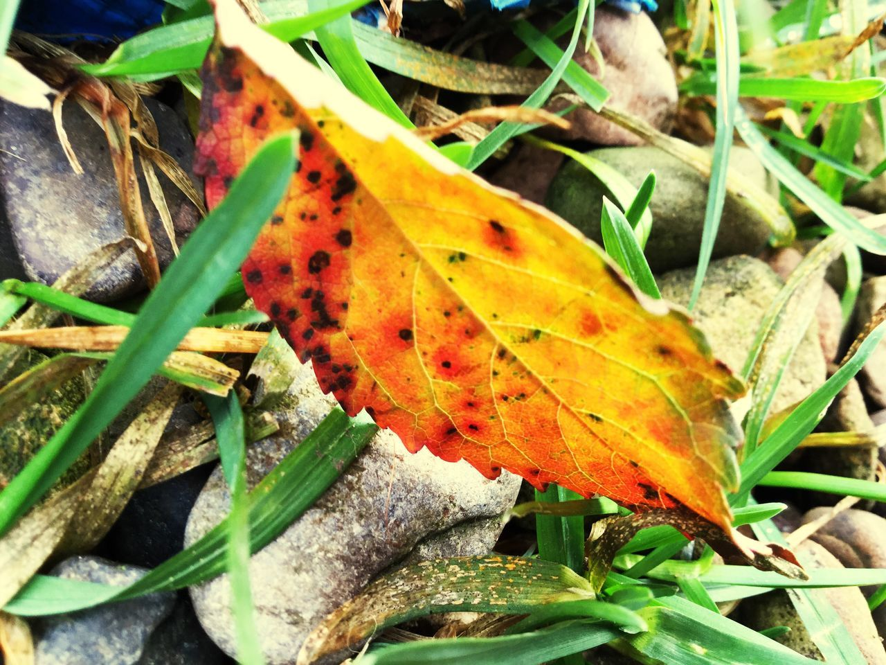 leaf, autumn, change, nature, dry, leaves, day, outdoors, beauty in nature, no people, maple, maple leaf, growth, close-up, plant, fragility, grass