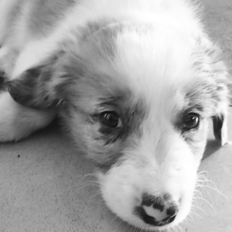 My puppy 💗 PuppyLove Dog Close-up Looking At Camera Blackandwhite Photography Cutie♥ Pets Border Collie Mix BabyPet Australian 🗺 Mydoggy Dogs Life Dog❤