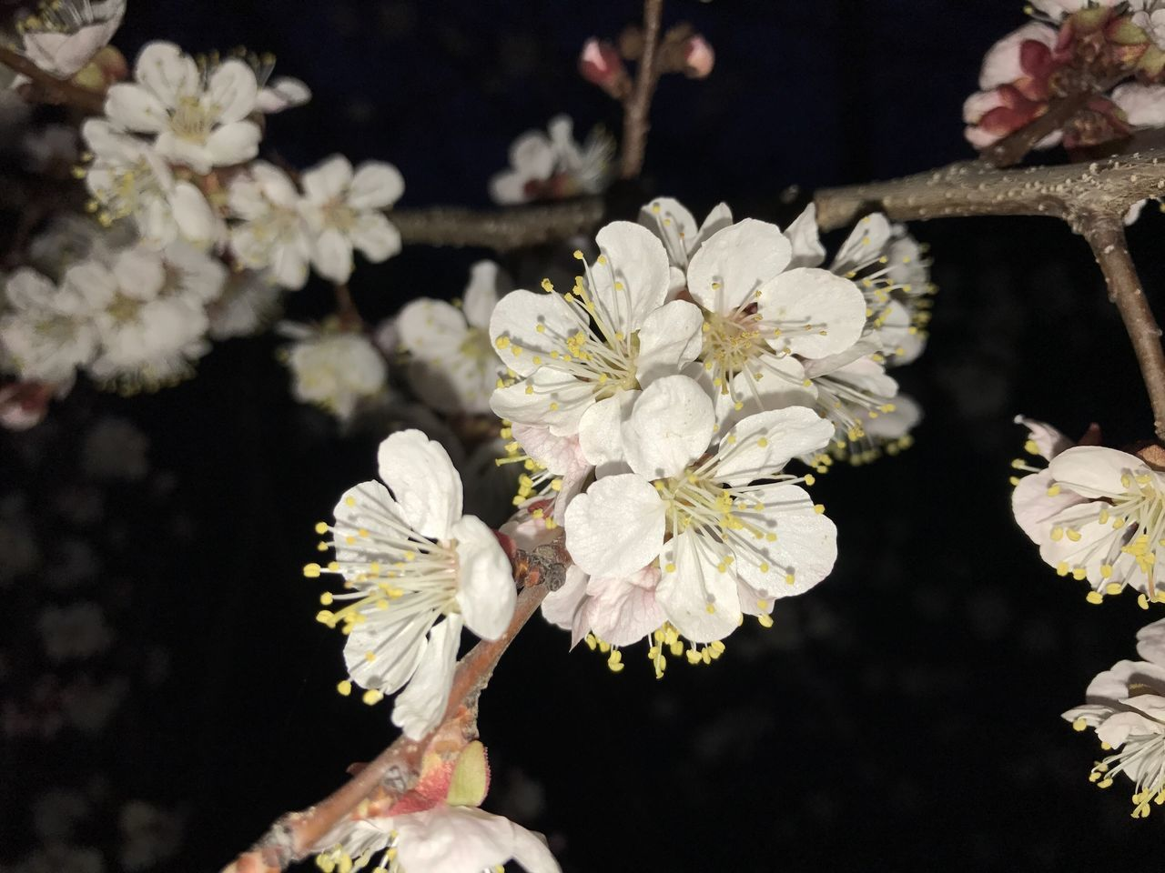 Flower White Color Fragility Nature Beauty In Nature Growth Flower Head Petal Close-up Freshness No People Outdoors Cherry Blossoms Cherry Flowers Cherry Blossom