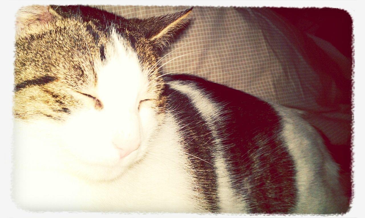 domestic cat, animal, cat, feline, mammal, pets, one animal, domestic animals, no people, close-up, indoors, animal themes