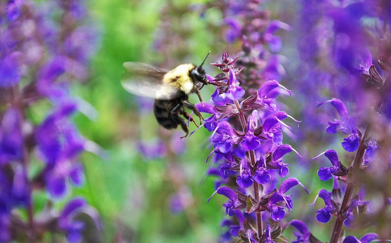 Close-Up Of Honey Bee Pollinating On Purple Flowers