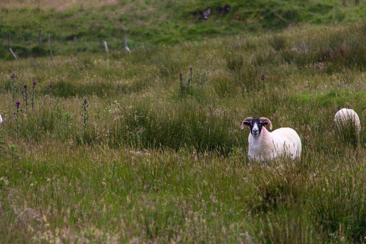 Sheep in field Animal Themes Field Grass Ireland Livestock Mammal No People Sheep Sheeps Widder