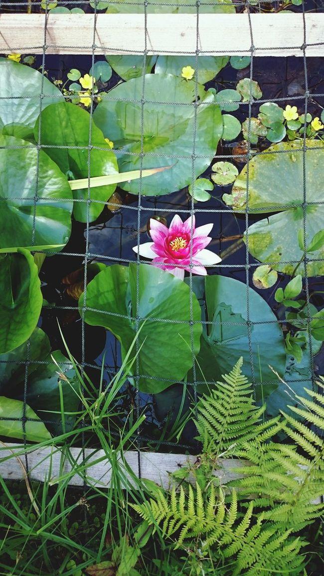 Flower Beauty In Nature Nature Water Teichrosen Teich Seerosenblätter Seerose