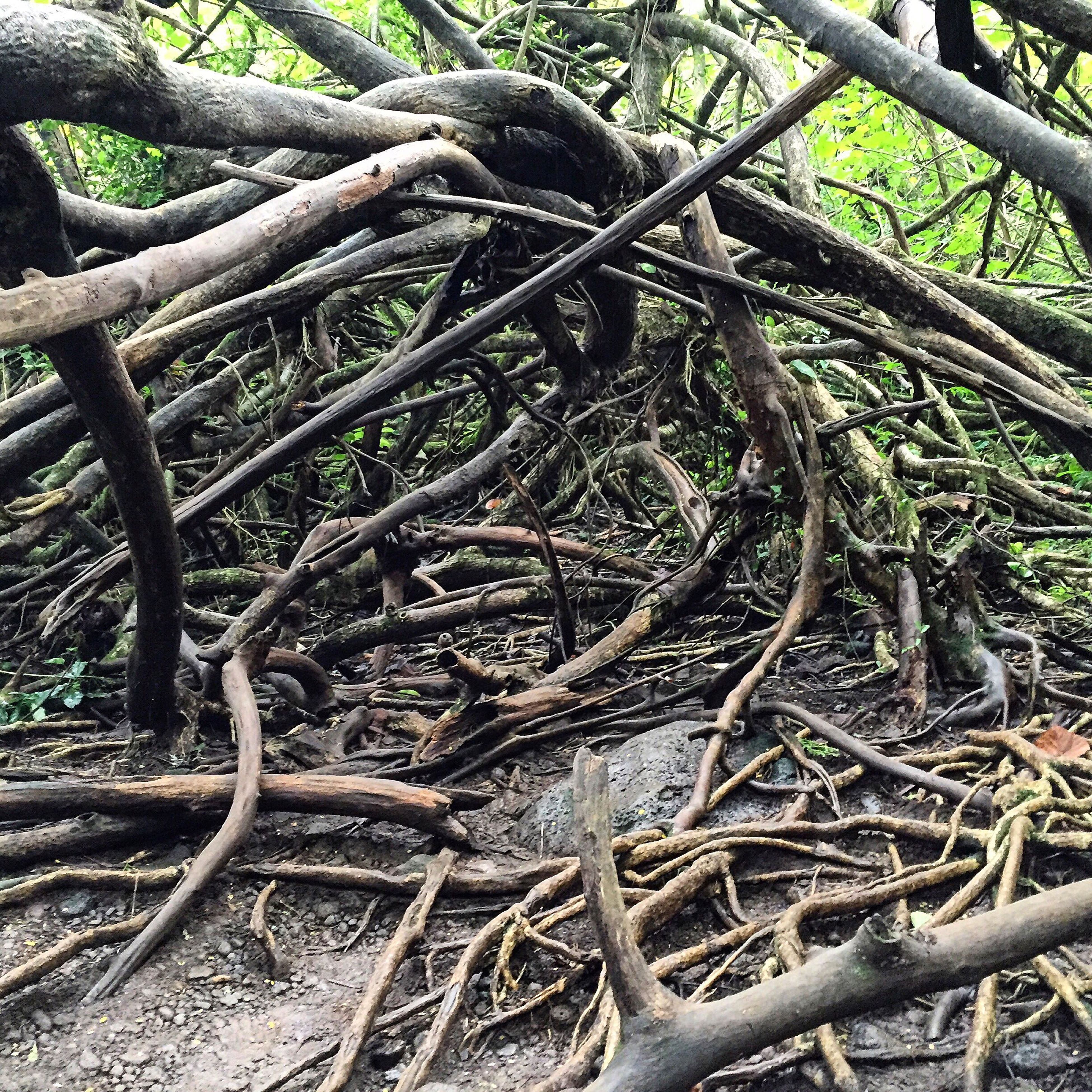 root, branch, close-up, growth, nature, messy, full frame, spreading, tree trunk, twisted, outdoors, dirt, day, woodland, woods, green color, tranquility, no people