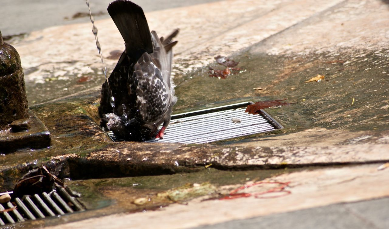 Bathing pigeon on a hot day in Venice. Outdoors Water Day Heat - Temperature No People Nature Animal Themes Pigeon EyeEm Animal Lover Animals Animal Thirsty  Heat Wave Summer Drinking Bathing Adapted To The City Urban EyeEm Nature Lovers Animals In Action Animals In The City EyeEmNewHere