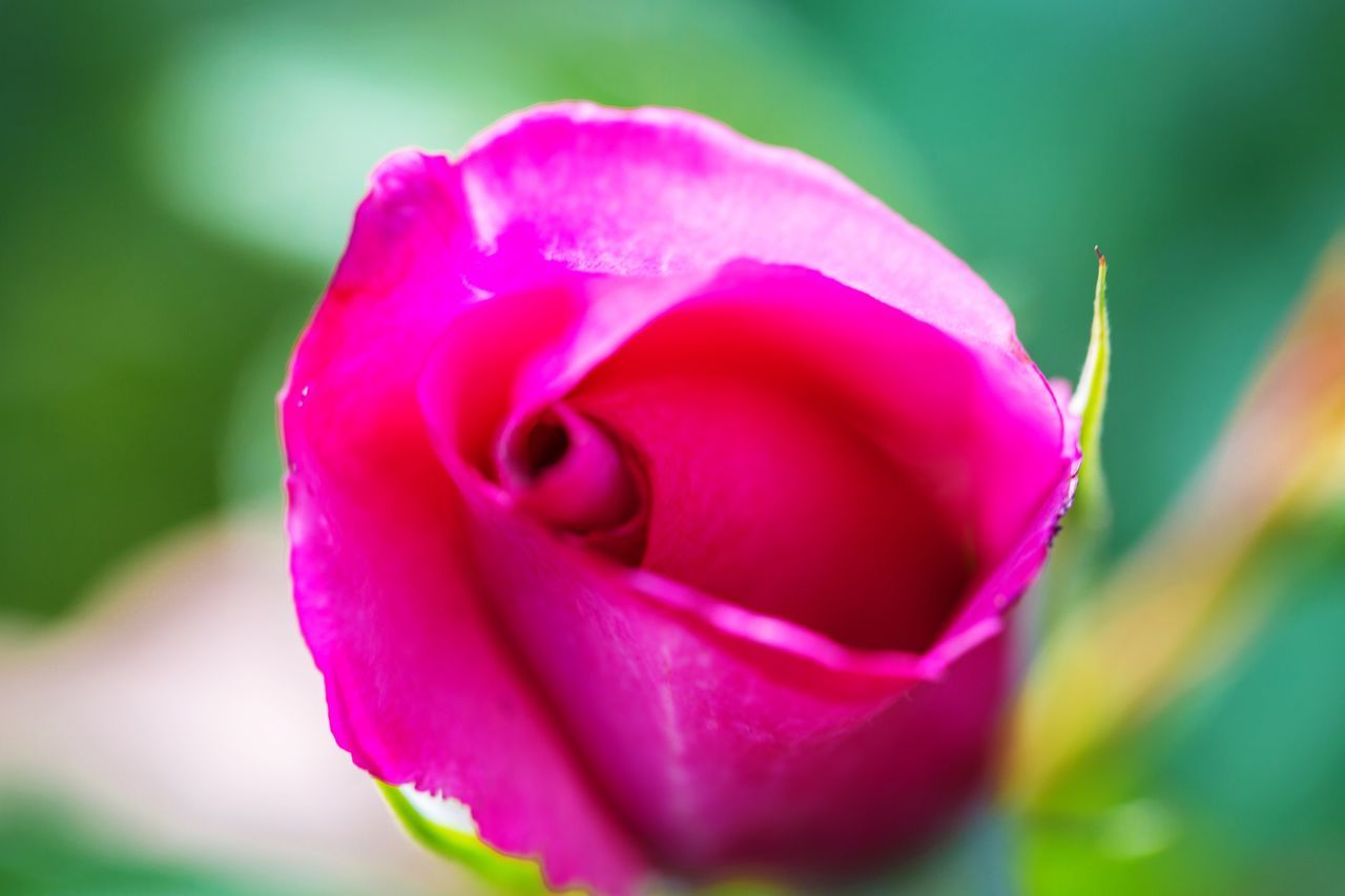Vibrant colours Check This Out Flowers Macro Macro Photography Flowers, Nature And Beauty Photographylovers Canonphotography Colourful Garden Photography Canon5Dmk3 Photooftheday Vibrant Colors Pink Flower Single Flower Single Rose Photo Of The Day