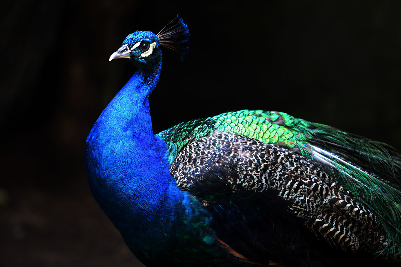 Beautiful stock photos of peacock, Natural Pattern, animal Head, animal Themes, animals In The Wild