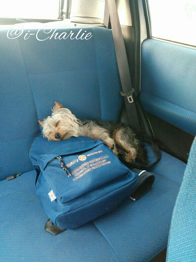 @i-Charlie Pets Car Transportation Travel One Animal Mode Of Transport Journey Vehicle Seat Domestic Animals Domestic Cat Sitting Mammal Dog No People Indoors  Animal Themes Day Seat
