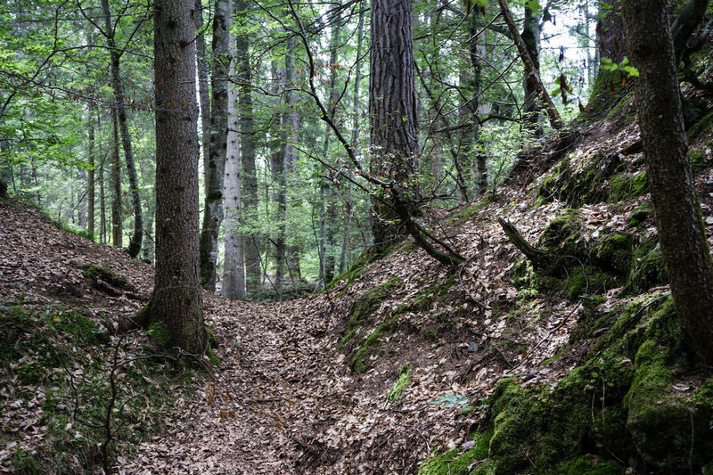Mystic forest deep woods brown tree summer hiking switzerla dlaac flims Forest Tree Nature Tree Trunk Day Outdoors Growth Pinaceae Tranquility Beauty In Nature WoodLand No People Pine Tree Branch Scenics Lush - Description Tree Area