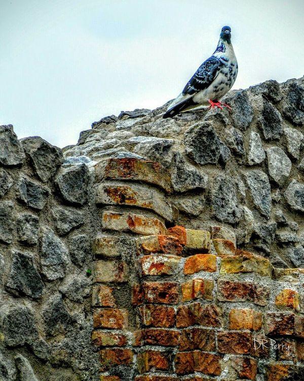 Pompéi Scavi Excavation Pigeon Napoli Napels Italy Italia Photobydperry