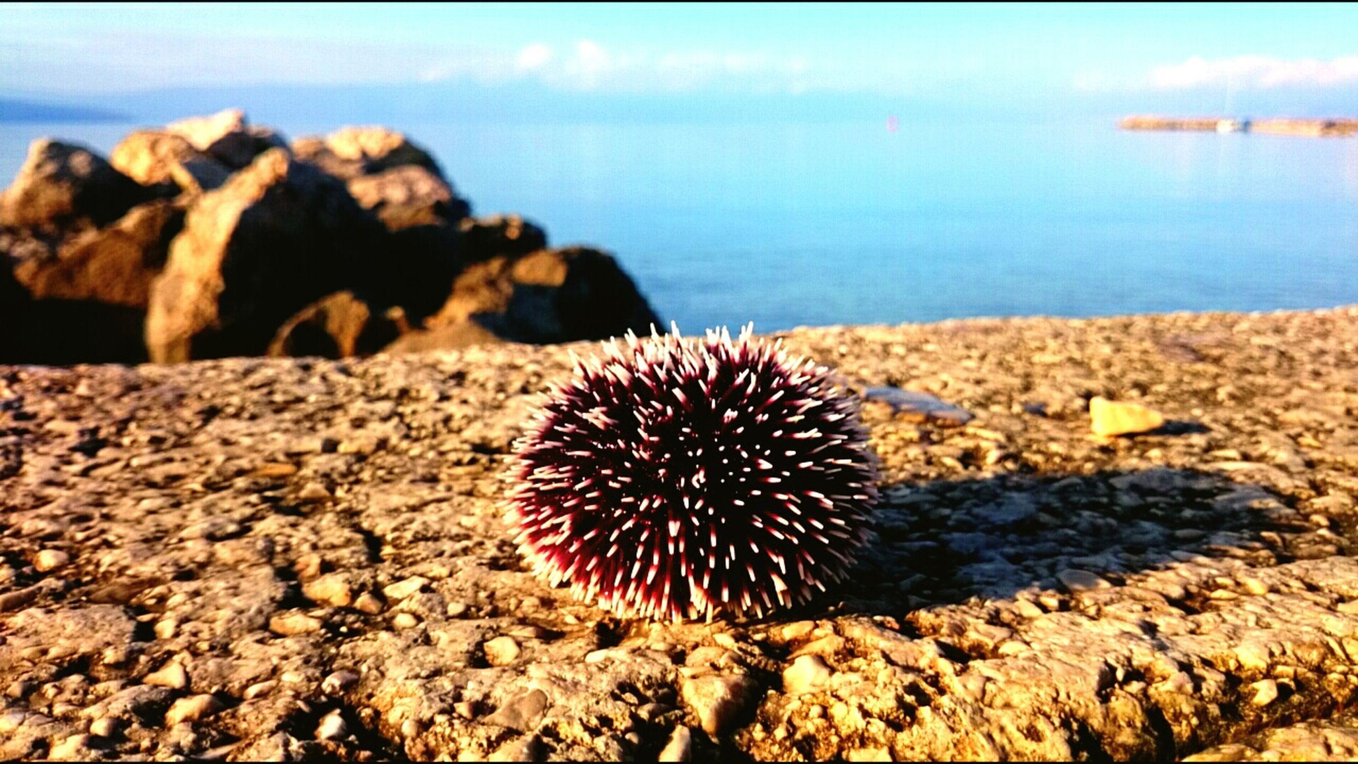 Sea-urchin Croatia Nature Island Krk